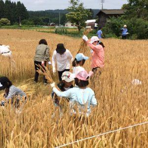 小麦収穫体験(子供たちも多数参加)